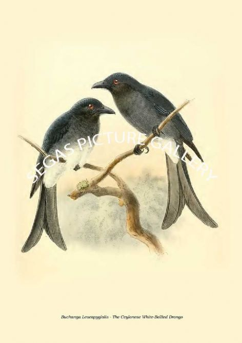 Fine art print of the BUCHANGA LEUCOPYGIALIS - THE CEYLONESE WHITE-BELLIED DRONGO by Captain W Vincent Legge (1880)